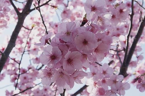 綺麗な桜3