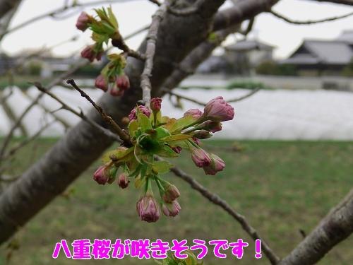 八重桜が咲きそうです