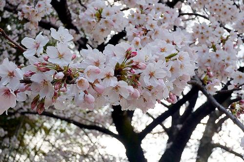 よく咲いてる桜