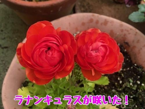 ラナンキュラスが咲いた