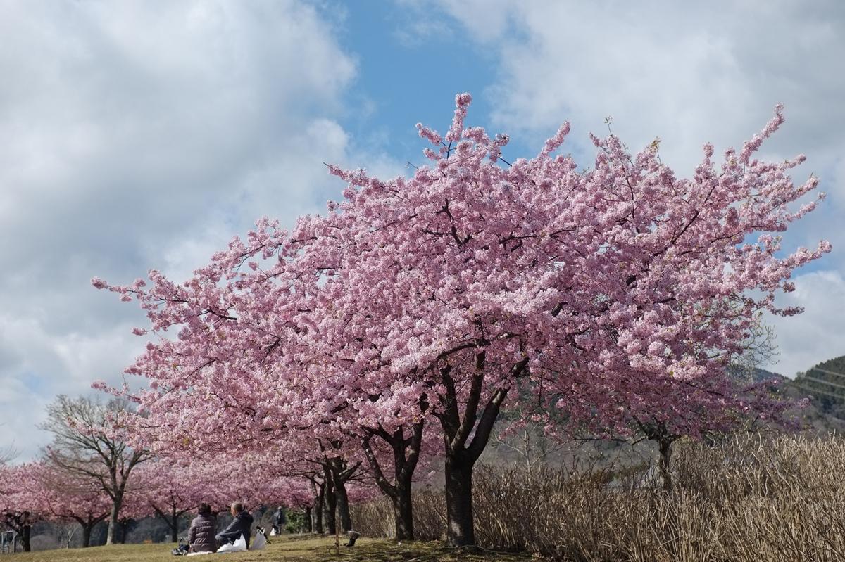 秦野スナップ戸川公園の河津桜