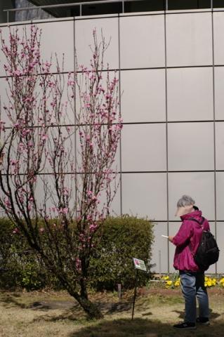 小田原フラワーガーデンの桃の木