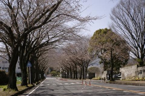 開花直前のフラワーガーデン前桜並木