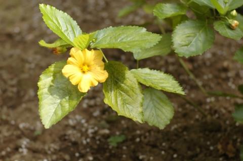 オアフ島の島花イリマの花