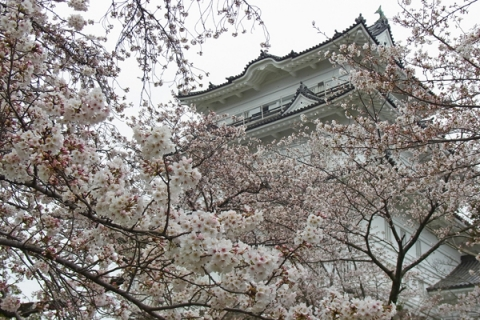 小田原スナップ桜の間から覗く小田原城
