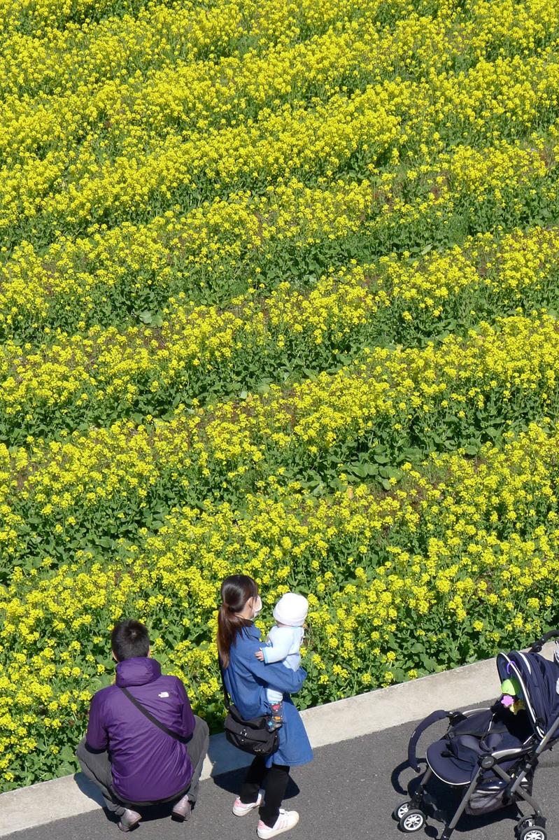 大井町紫水大橋で菜の花畑を眺める親子連れ