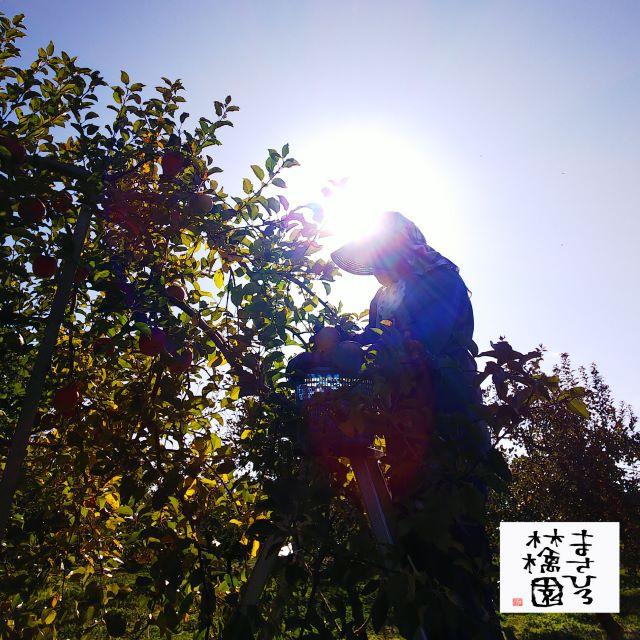 葉とらずサンふじ収穫20191113小