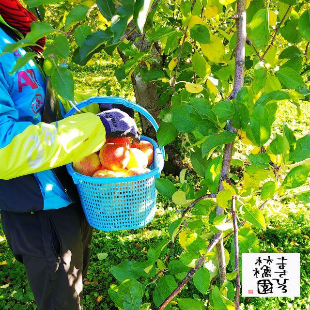 三ツ森葉とらずサンふじ2収穫20191113小