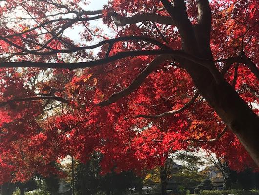 野川公園紅葉