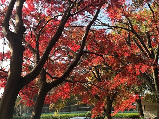 野川公園紅葉2
