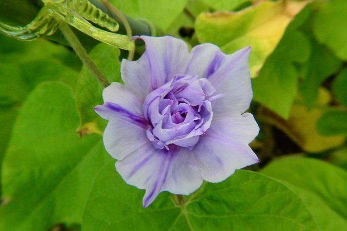 19藤紫吹雪芯牡丹_4119a