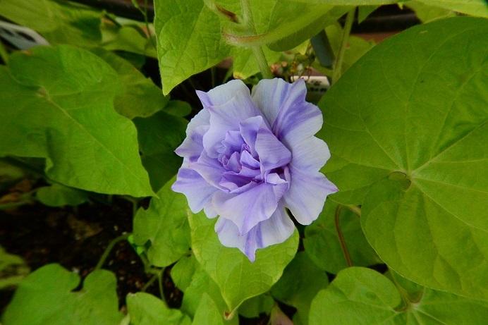 19藤紫吹雪整形牡丹_4123a