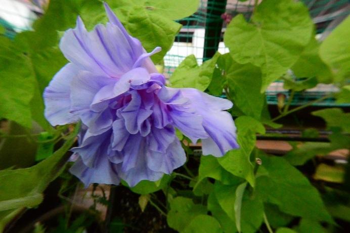 19藤紫吹雪大型牡丹_4155a