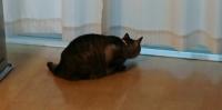 カーテンの間からベランダをのぞくネコ