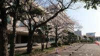 議会棟の横の桜