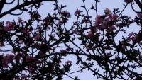 202002三鷹の梅・桜02
