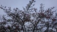 202002三鷹の梅・桜03