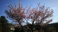 202002三鷹の梅・桜04
