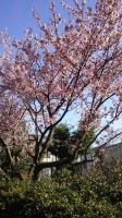 202002三鷹の梅・桜05