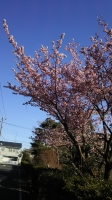 202002三鷹の梅・桜06