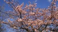 202002三鷹の梅・桜07