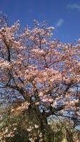 202002三鷹の梅・桜08