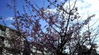 202002三鷹の梅・桜09