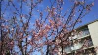 202002三鷹の梅・桜10