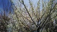 202002三鷹の梅・桜11