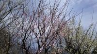 202002三鷹の梅・桜12