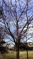202002三鷹の梅・桜13