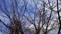 202002三鷹の梅・桜14