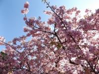 20200223まつだ桜まつり02