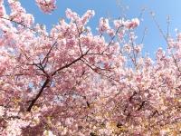 20200223まつだ桜まつり03