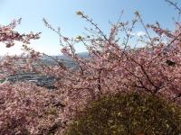 20200223まつだ桜まつり05