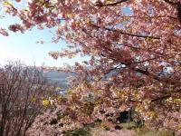 20200223まつだ桜まつり07
