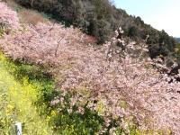 20200223まつだ桜まつり10