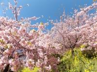 20200223まつだ桜まつり16