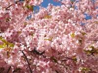20200223まつだ桜まつり17