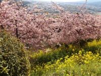 20200223まつだ桜まつり18