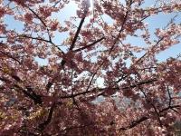 20200223まつだ桜まつり20