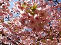 20200223まつだ桜まつり22