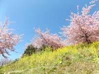 20200223まつだ桜まつり27