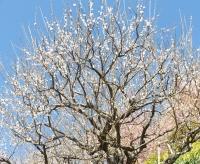 20200223まつだ桜まつり28