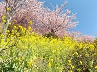 20200223まつだ桜まつり33