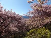 20200223まつだ桜まつり34