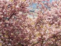 20200223まつだ桜まつり35