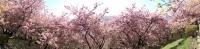 20200223まつだ桜まつり36