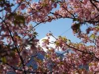 20200223まつだ桜まつり38
