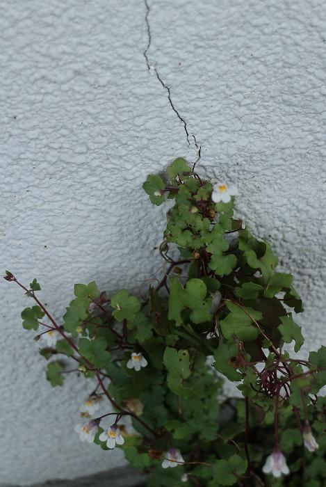 壁にも登って花咲かす 1 8 31